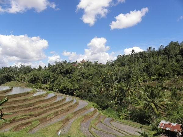 Rice fields in North Bali