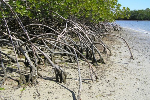 Everglades Park Mangrove