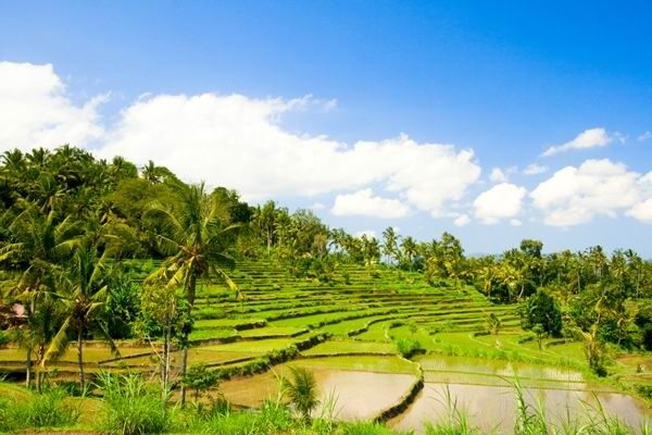 Green rice terraces on Bali