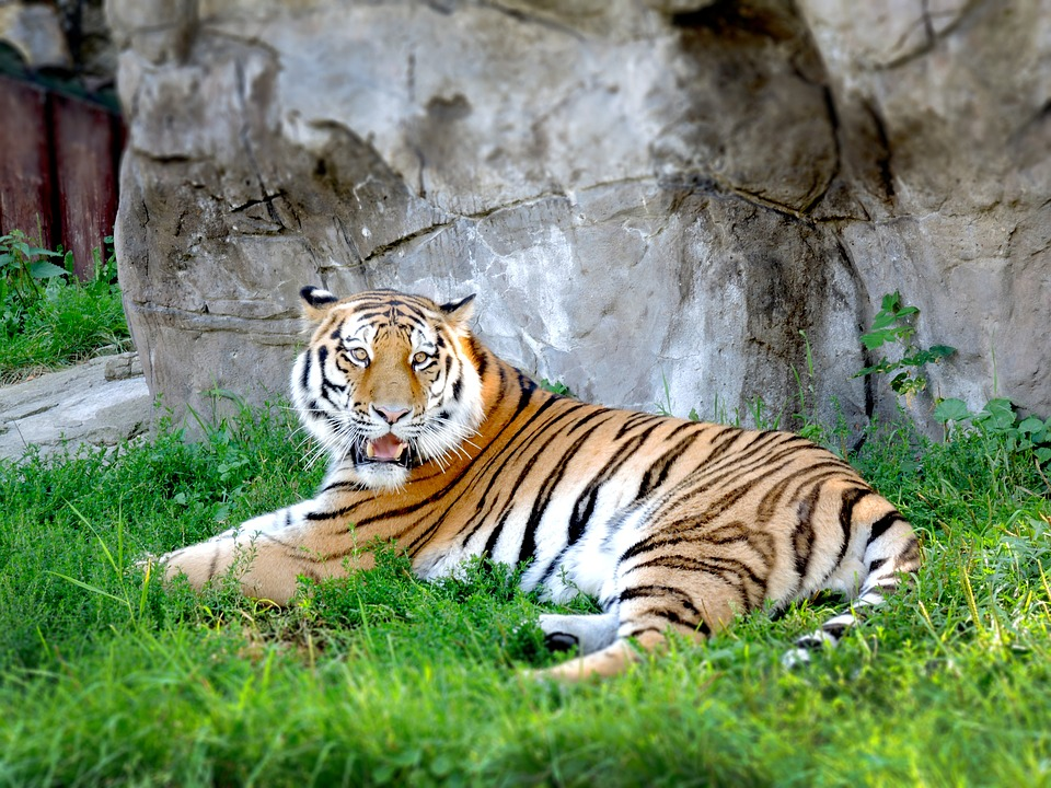 Moscow Zoo-tiger