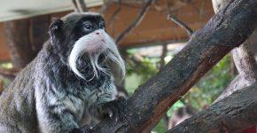 emperor-tamarins-London Zoo