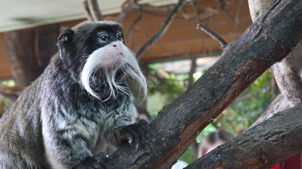 emperor-tamarins-London Zoo