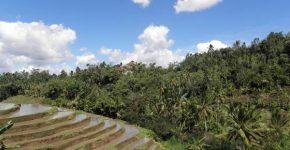Rice fields in North Bali