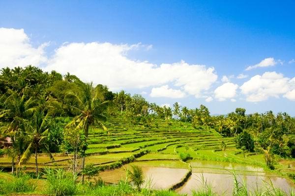 Green rice terraces on Bali